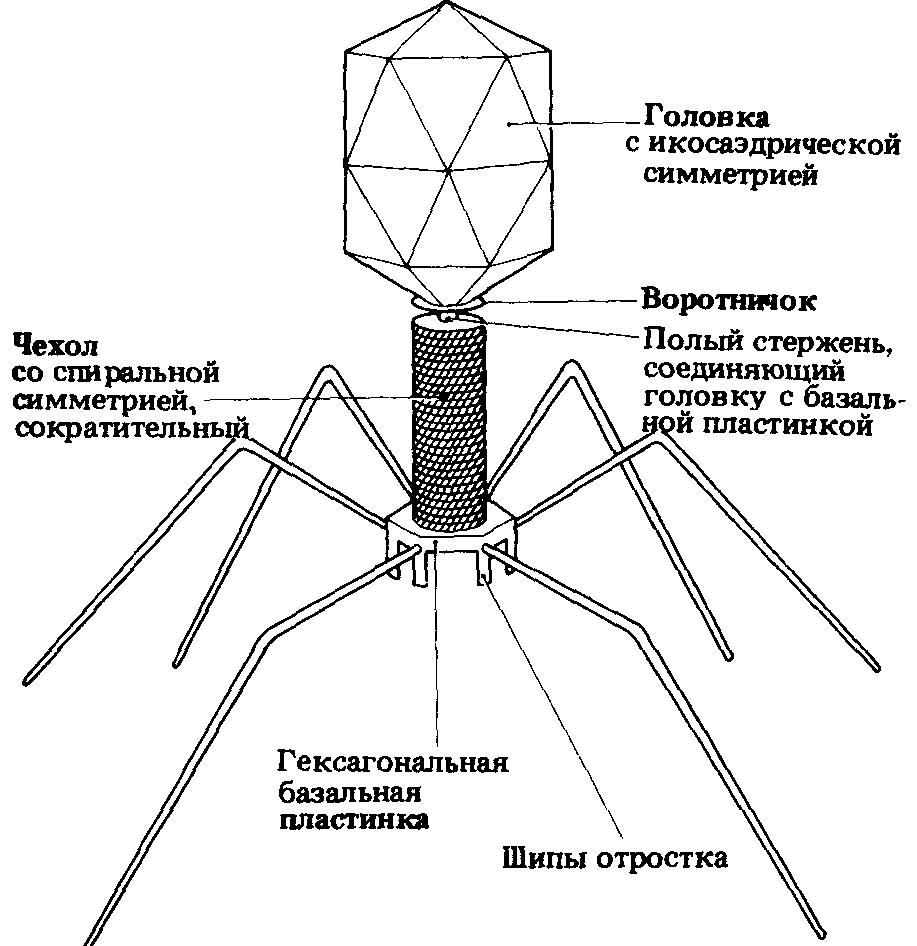 Virusi z ovojnico, Virus del papiloma herpes genital. Herpes simplex virus del papiloma humano