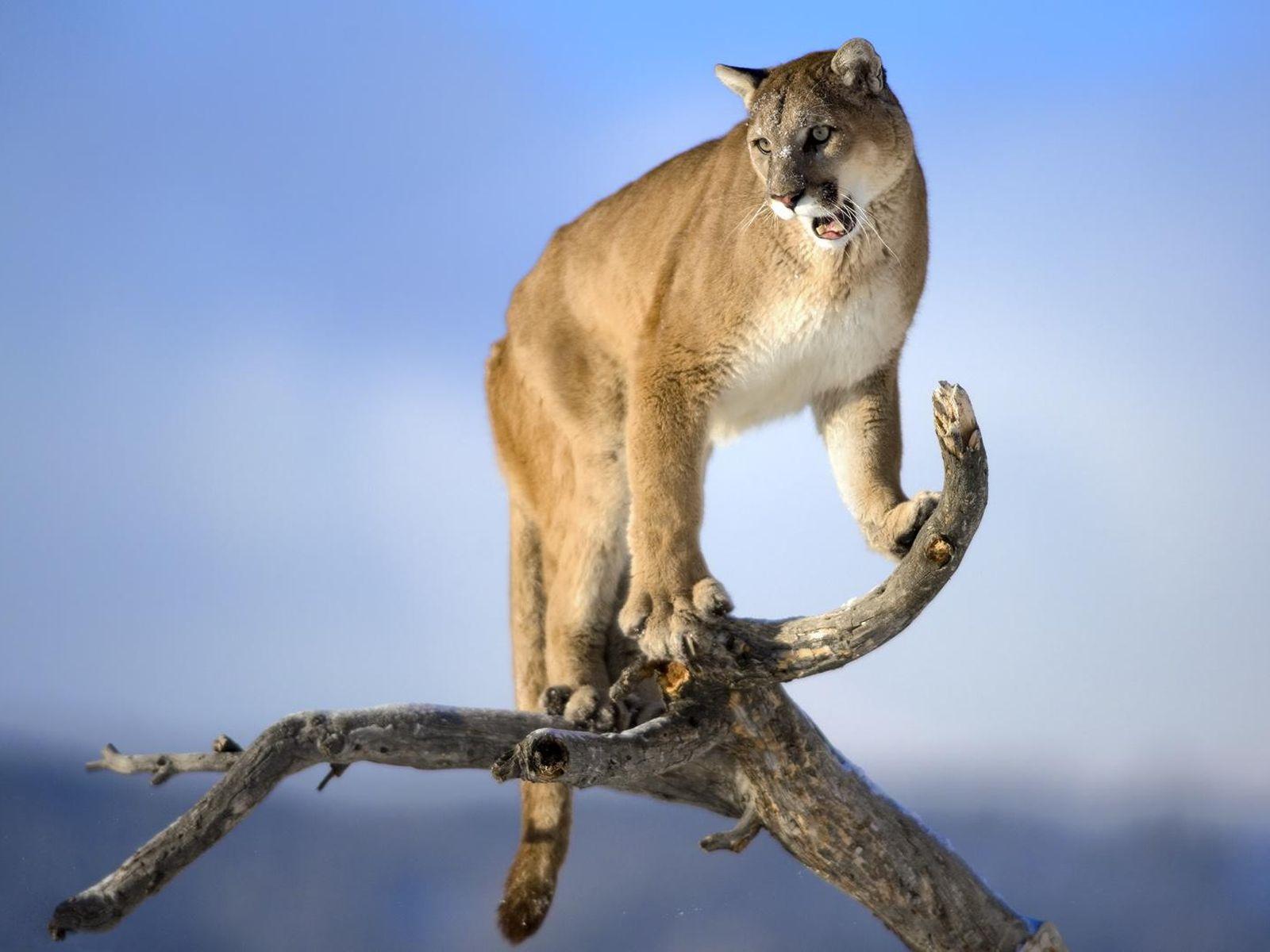 Brazilski veliki plijen maca