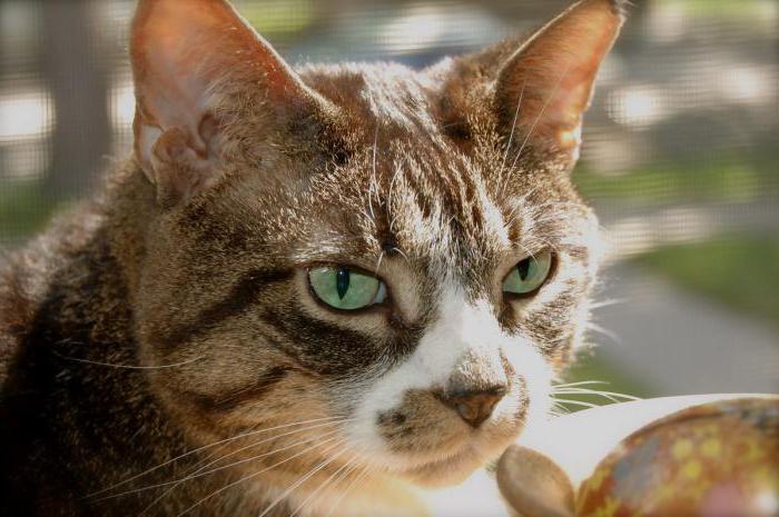 veľký tuk nedbanlivý mačička